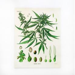 cannabis botanical print, muller botanical hemp print, hemp products archive