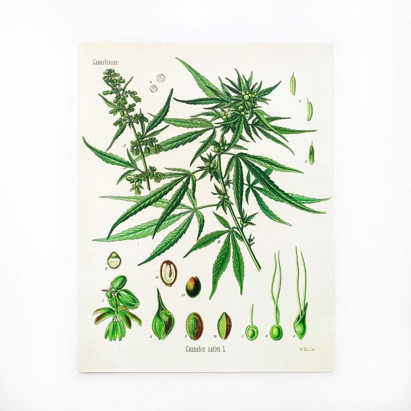 hemp paper, hemp prints, cannabis botanical print
