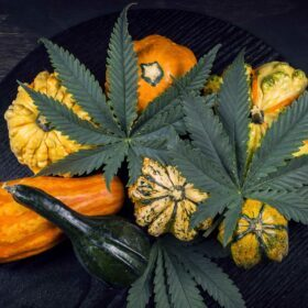 november-2020-photo-contest-featured-image-thanksgiving-cannabis-leaves-and-autumn-squash
