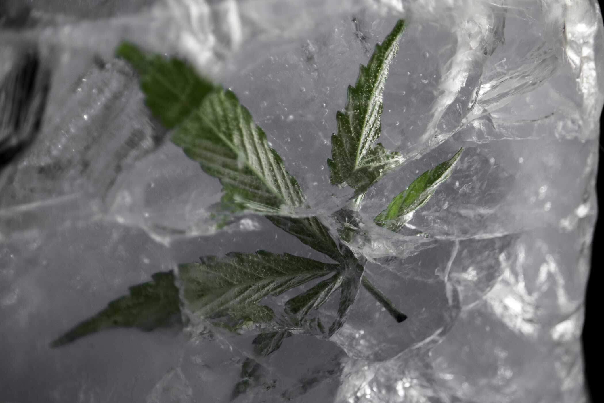february-2021-photo-contest-hemp-leaf-in-ice-AdobeStock_387439398