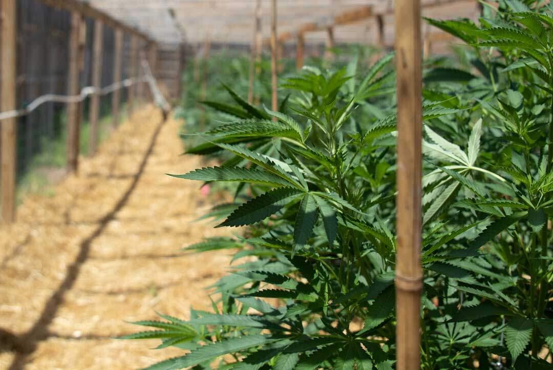 August-2021-cannabis-photo-contest