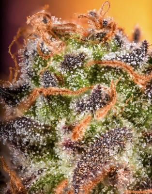Grandaddy Purp Macro - December 2020 Contest Results - First Place