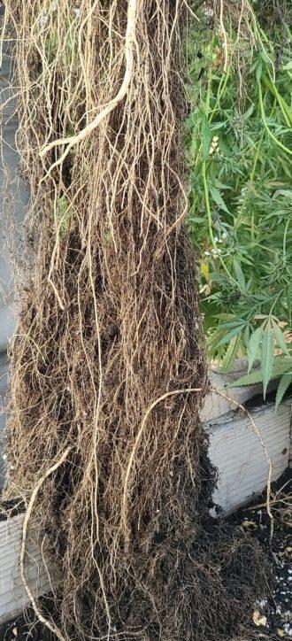Rootpunzel