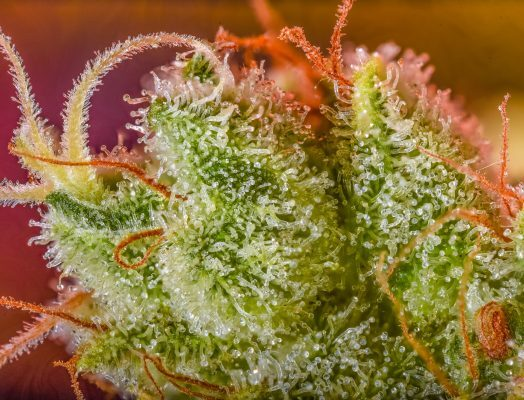 June 2020 Photo Contest Results - Quarantine Kush Trichomes