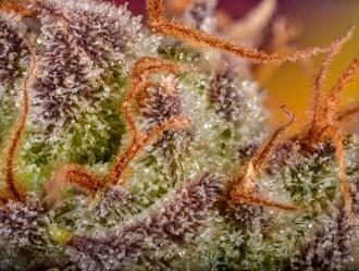 Strawberry Slurpee Trichomes